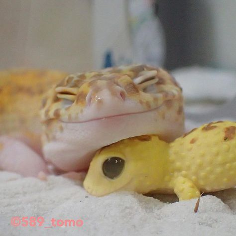 Leopard Gecko Cute, Cute Gecko, Lepord Gecko, Cute Lizard, Cute Snake, Baby Animals Pictures, Cute Animal Photos, Cute Pics, Cute Pictures