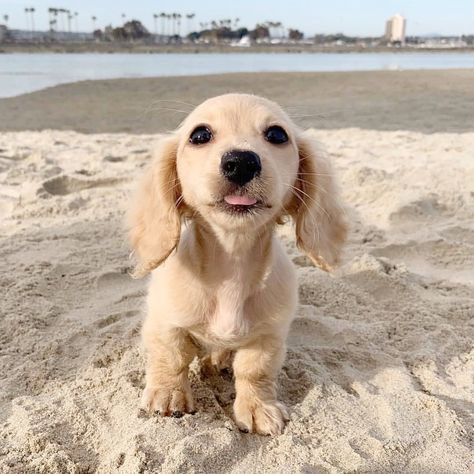 30 Cute Animal Pictures That I Guarantee Are Going To Make You Smile Cute cats and dogs of the day. Here is our collection of top 30 cute animal pictures that I guarantee Dapple Dachshund, Long Haired Dachshund, Dachshund Puppies, Weenie Dogs, Doggies, Daschund, Dachshund Facts, Dachshund Clothes, Funny Dachshund