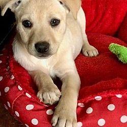 Pet Card Labrador Retriever Pets Dogs