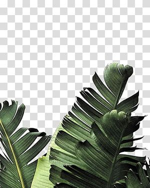 Banana Tree Leaf Png