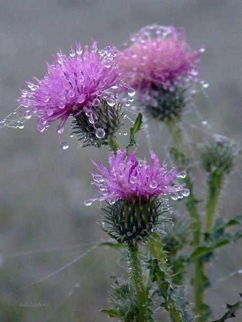 Dew on thistle. Amazing Flowers, Purple Flowers, Beautiful Flowers, Flowers Nature, Wild Flowers, Dew Drops, All Things Purple, Flower Photos, My Flower