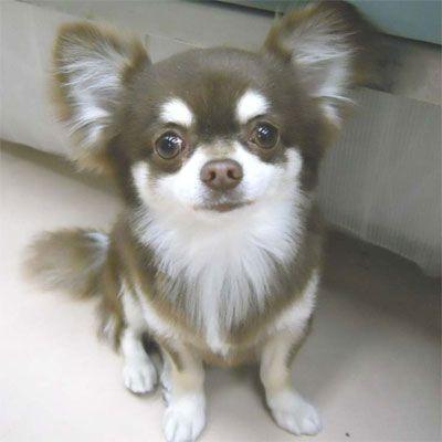 Chihuahua Chihuahua Chihuahua Breeds Chihuahua Chihuahua Puppies