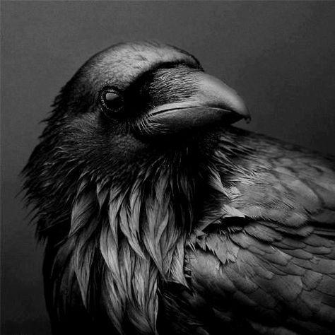 Raven, Crow, et Corbacs  B430017be9371eda358f3c2c9abdec03--crows-ravens-blackbird