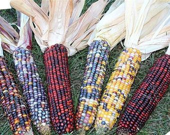 Indian Vegetable Seeds Etsy In 2020 Indian Corn Corn Colored