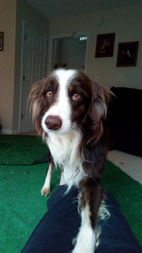 Adopt Seth On Border Collie Rescue
