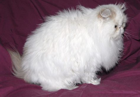 Persian cat for sale indiana