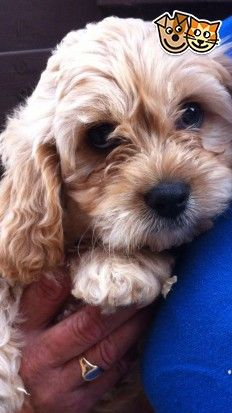 Gorgeous Cavapoo Puppies Cavapoo Puppies Cavapoo Puppies