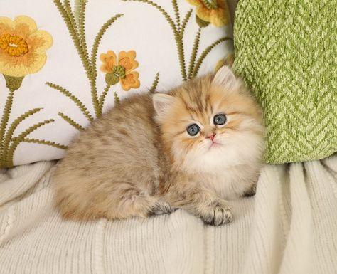 Chinchilla Golden Dollface Kitten