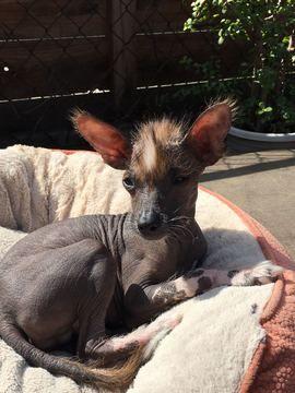 Xoloitzcuintli Mexican Hairless Puppy For Sale In Pasadena Ca