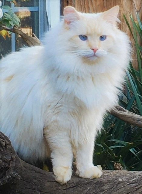 Rescued Ragdoll Flame Point Cat Breeds Cute Cats Animal Rescue