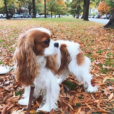 The Cavalier King Charles Spaniel is a small spaniel that .-Der Cavalier King Charles Spaniel ist ein kleiner Spaniel, der von The …, The Cavalier King Charles Spaniel is a small spaniel made by The …, Check more at - King Charles Puppy, Cavalier King Charles Dog, Cavalier King Charles Spaniel Puppy, King Charles Spaniels, Cute Dogs And Puppies, Doggies, Corgi Puppies, Cute Small Dogs, Cutest Dogs