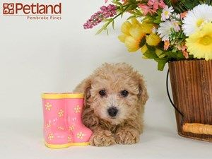 Puppies For Sale Petland Florida Puppy Friends Puppies Puppies For Sale