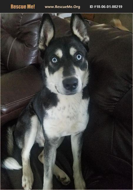 Adopt 18060100219 Siberian Husky Rescue Monett Mo