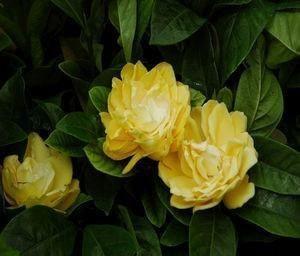 Gardenia Augusta Golden Magic Gardenia Buy Plants Online Shade
