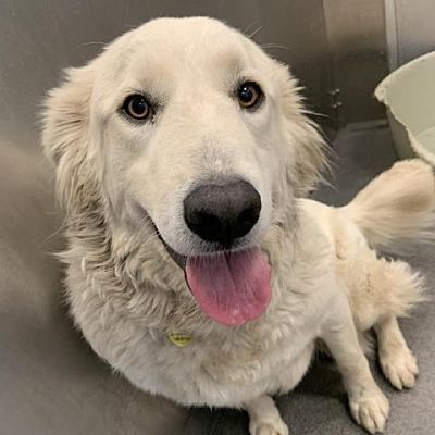 New York Ny Great Pyrenees Meet Amy Schumer A Pet For Adoption