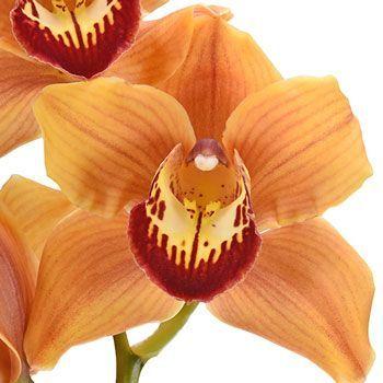 Wholesale Cymbidium Orchids Orange Fiftyflowers Com In 2020 Flower Meanings Cymbidium Orchids Orchids