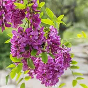 Black Locust False Acacia Purple Robe Robinia Pseudoacacia My Garden Life In 2020 Fertilizer For Plants Foundation Planting Types Of Soil