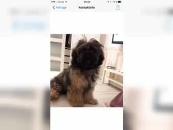 The Weshi Is The Offspring Of Two Purebreds The West Highland White Terrier And The Shih Tzu Parti Color In 2020 White Terrier West Highland White Terrier Terrier Mix