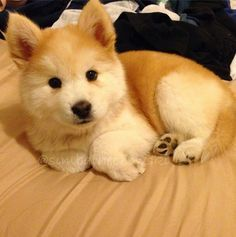 Must see Chow Chow Chubby Adorable Dog - b49b39bf8aee9287f62245674544aef9--chubby-puppies-little-puppies  Image_34182  .jpg