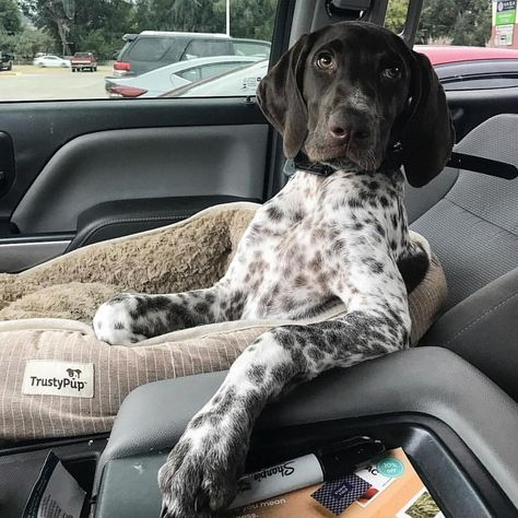 Here's a guide to this breed, so you can get to know the German Shorthaired Pointer's personality, physical traits, intelligence and how you can find one of these pups to take home. Gsp Puppies, Pointer Puppies, Pointer Dog, German Pointer Puppy, German Shorthaired Pointer Black, English Pointer, Funny Puppies, Funny Dogs, Pet Dogs