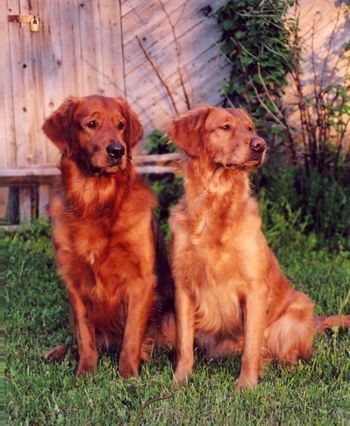 Red Golden Retrievers Rustiques With Images Golden Retriever