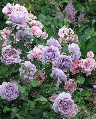 rose garden design layout #beautifulflowers
