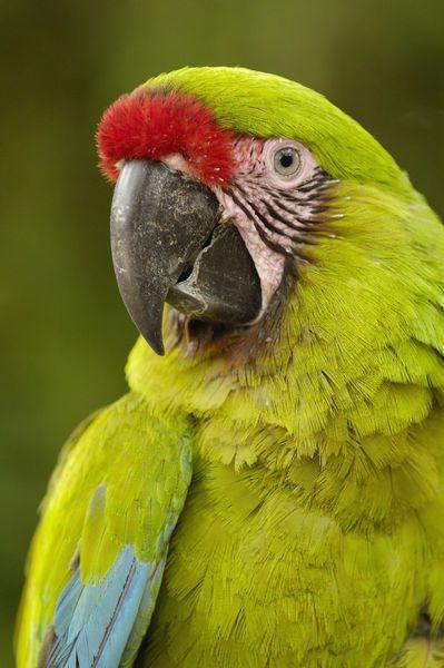 Military Macaw Ara Militaris Captive Amazon Rain Forest Ecuador