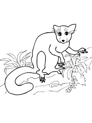 Aye Aye From Madagascar Coloring Page Coloring Pages Free