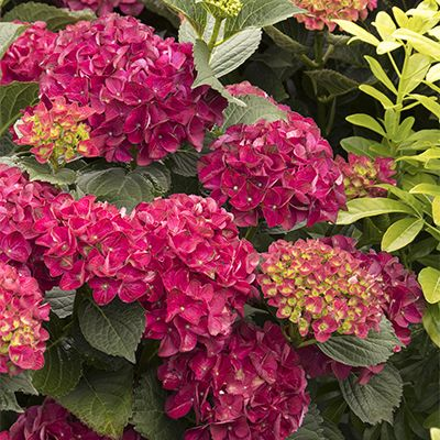 Seaside Serenade Cape Hatteras Hydrangea Zone 4 9 One Of A Series Of New Hydrangeas Bred With Superior Traits Including T Flower Hedge Purple Shrubs Plants