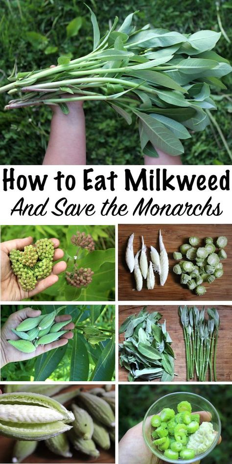 Common Milkweed is a Tasty Edible plant, and every part is delicious. The young shoots taste like asparagus, and the flower buds are a bit like broccoli. Later even the seed pods are edible. Healing Herbs, Medicinal Plants, Edible Wild Plants, Wild Edibles, Edible Flowers, Along The Way, Gardening Tips, Just In Case, Herbalism