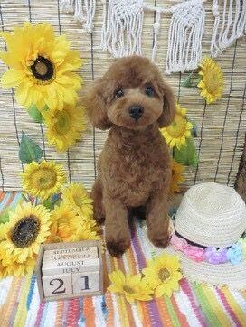 だいちゃん 2018年7月 Little Critter Poodle Toy Poodle
