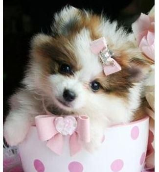 Pomeranian Puppies For Sale Fort Collins Co Teacup Puppies