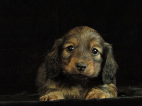 Longhaired Cream Sable With Images Dachshund Breeders Cream Dachshund Weiner Dog