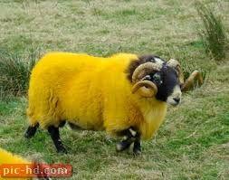 صور الخروف معلومات عن الخروف Sheep Animals Beautiful Animals