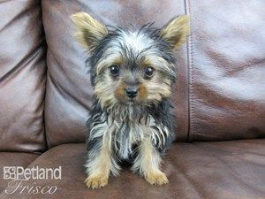 Female Yorkshire Terrier Gus Haircut Dogs Dogs Puppies