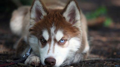 Angry Husky Dog Face Dog Wallpapers Hd Wallpaper Husky Animais