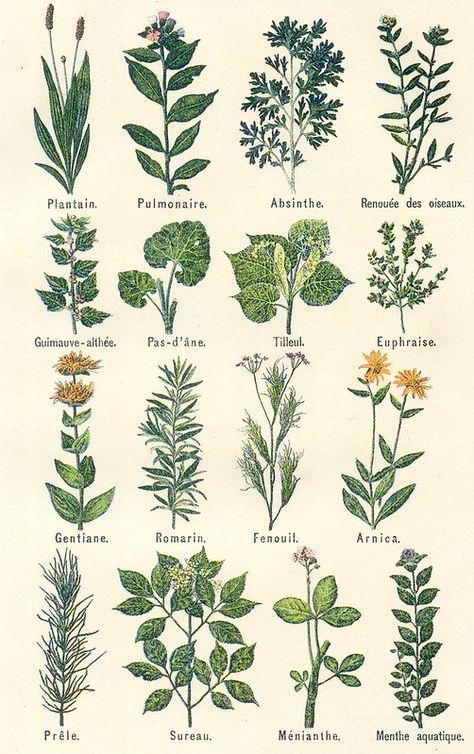 plantes medicinales 2 | patricia m | Flickr