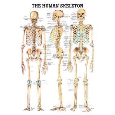 The Human Skeleton Laminated Anatomy Chart Human Skeleton Human Skeleton Anatomy Skeleton Anatomy