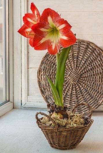 Amaryllis A Guide To Growing Amaryllis Bulbs Bulbs Garden Design Amaryllis Bulbs Garden Bulbs
