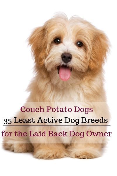 35 Least Active Dog Breeds Laid Back Dog Owner Jackie Housethatbarks Com Active Breeds Active Dogs Breeds Friendly Dog Breeds Low Maintenance Dog Breeds