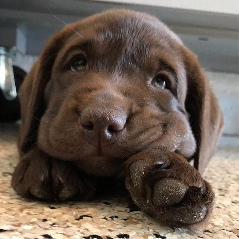 Chocolate Labrador Puppy 💖 | via @willow.the.chocolate.lab on Instagram