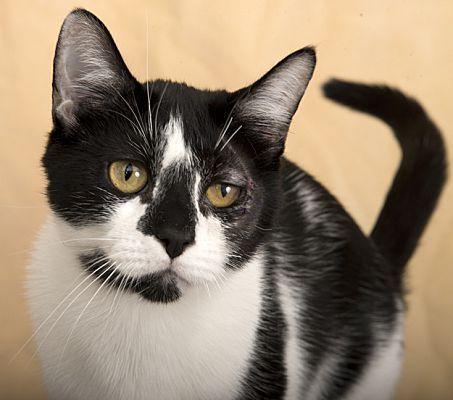 Chicago Il Domestic Shorthair Meet Oreo A Pet For Adoption Cat Adoption Pet Adoption
