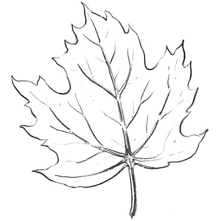 How to Draw Maple Leaves – Easy Leaf step by step drawing lesson ...