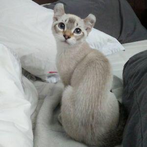 Chatons Highland Lynx A Vendre Cats Lynx Kitty
