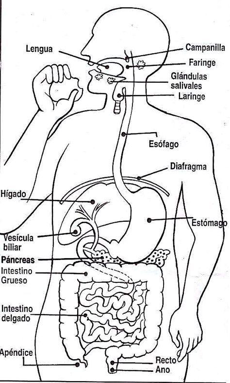 Material Didactico Dibujos Para Colorear Laminas Para Imprimir Y Proyectar Imagenes Para Colore Sistemas Del Cuerpo Humano Cuerpo Humano Sistemas Del Cuerpo