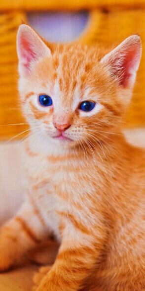 Pin By P A On Do You Like Orange Orange Kittens Kittens Cutest Cats