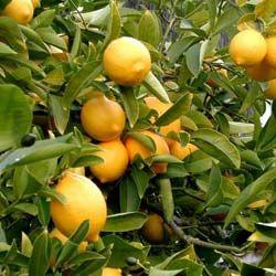 Citronnier Culture Et Entretien En Pot Taille En Hiver Maladies Citronnier Citronnier 4 Saisons Et Jardinage