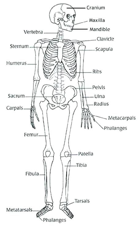 Blank Diagram Skeleton Human Body Label The Worksheet To Match A