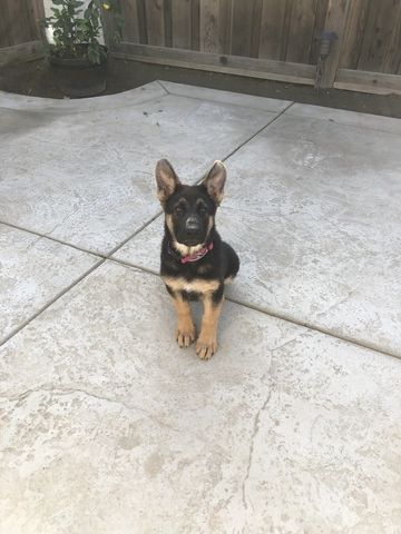 German Shepherd Dog Puppy For Sale In Lathrop Ca Adn 60747 On
