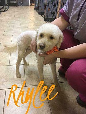 Nutley Nj Poodle Miniature Meet Rhylee A Pet For Adoption Miniature Poodle Pets Pet Adoption